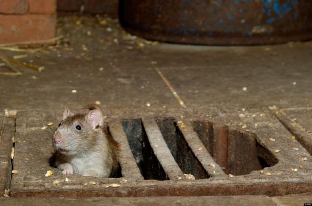 Brown Rat, Norway Rat, Wanderratte, Rattus norvegicus, Europe