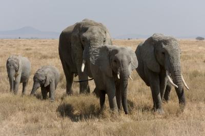 Herde Afrikanischer Elefanten verschiedenen Alters in der Serengeti