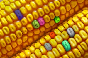 GMO-Ear-of-Corn