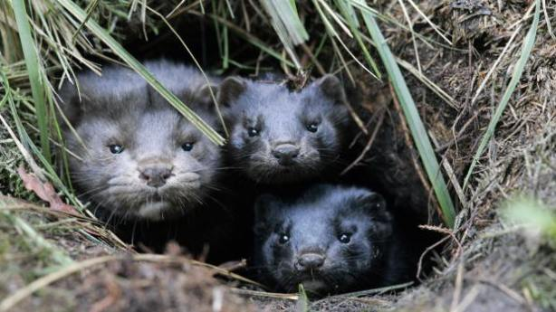 TO GO WITH AFP STORY BY MARTINE PAUWELS (FILES) A group of minks take shelter in a hole in the ground after they and more than 10,000 others were released from a breeding facility in the eastern German town of Grabow by unknown persons on October 26, 2007. The Netherlands are the third largest producer in the world, and Dutch MPs will examine a draft in parliament prohibiting the breeding of mink on May 19, 2009,  in the Netherlands on moral grounds, triggering an uproar by the Dutch mink farmers.                                AFP  PHOTO   DDP FILES JENS  SCHLUETER**GERMANY OUT** (Photo credit should read JENS SCHLUETER/AFP/Getty Images)