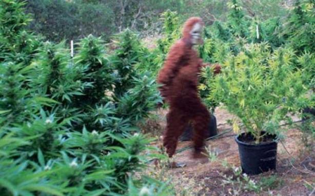 Bigfoot-TexasMarijuanaGrowSite