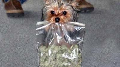 dog-leaves-to-play-in-the-yard-returns-with-a-huge-bag-of-mystery-weed-image-1