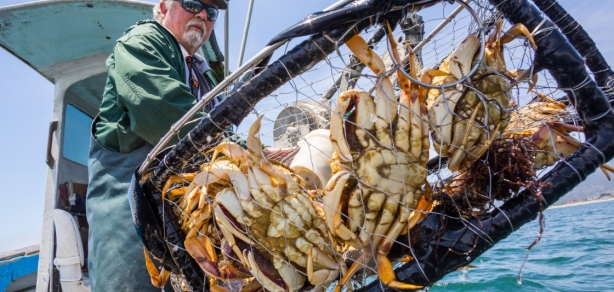 PHOTO-Dungeness crabs caught by fisherman Josh Churchman-061715-B.Drummond, bdsjs.com-5648x2690-landscape.jpg