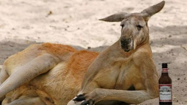 tmp_28480-drunk-kangaroo1132580580
