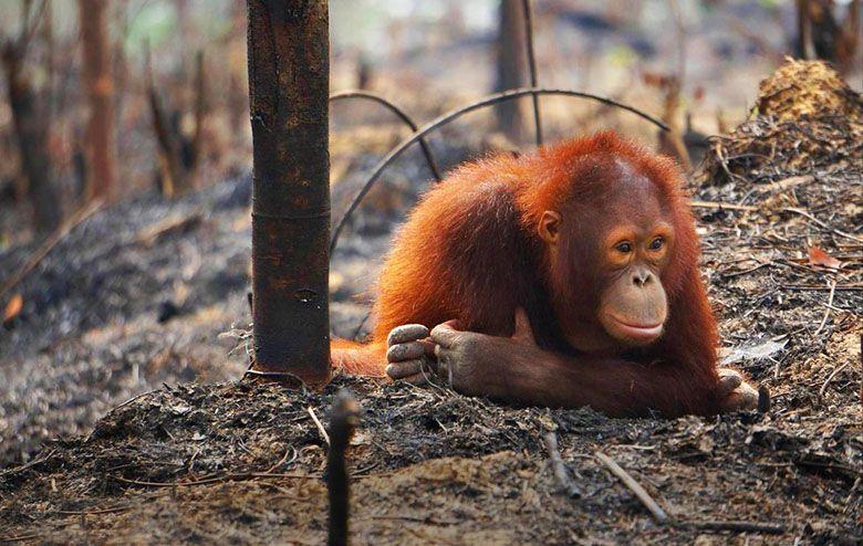 orangutan-on-ground-INLINE.jpg