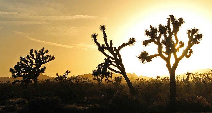 california-joshua-tree-national-park-joshuas-at-sunset.jpg