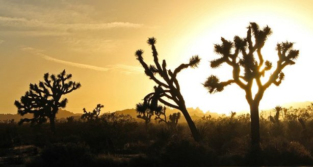 california-joshua-tree-national-park-joshuas-at-sunset.jpg